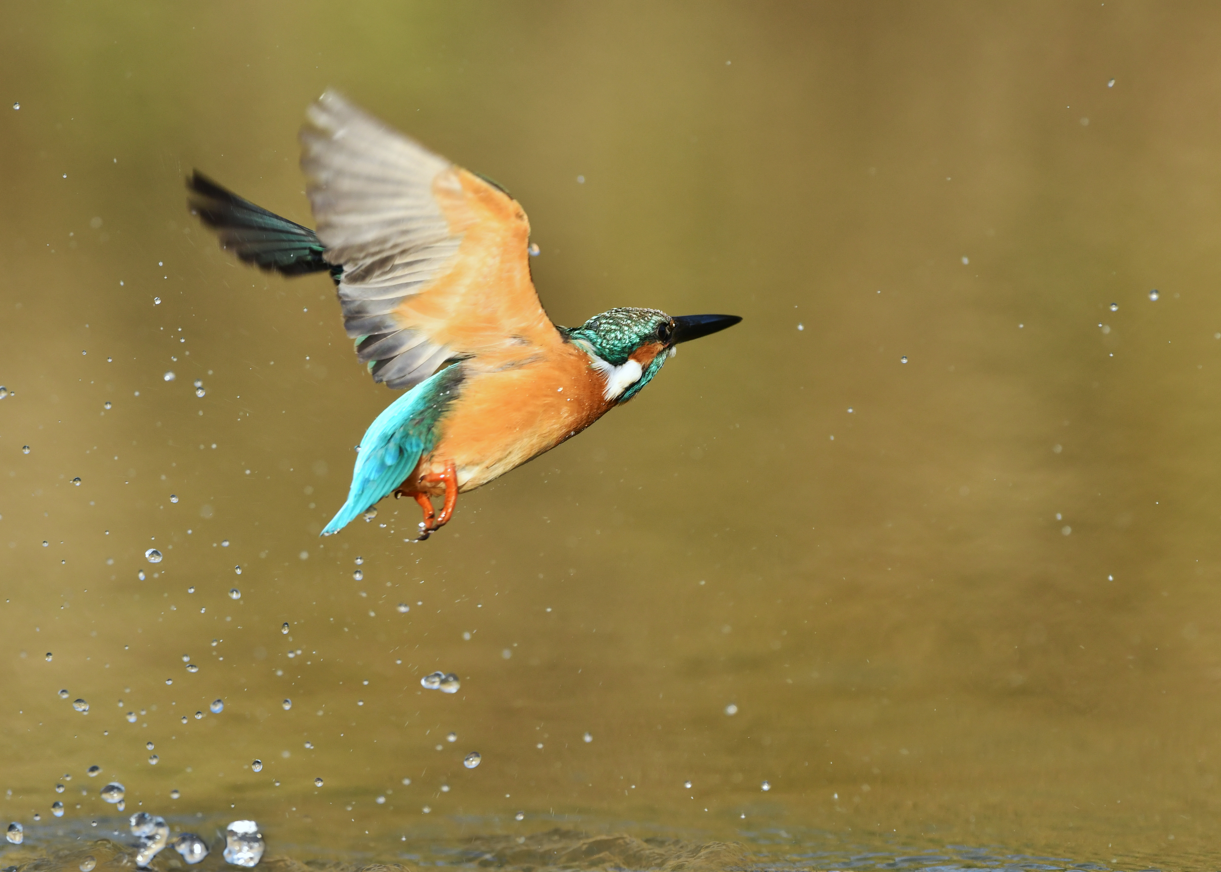 https://news.ra-pport.com/images/Bathing-in-a-Kingfisher-977637008_4805x3432.jpeg